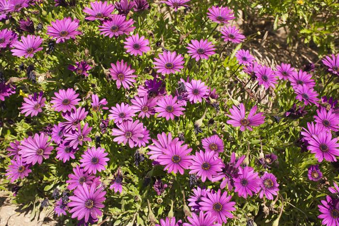 Flores Moradas I Galerias Canonistas Com