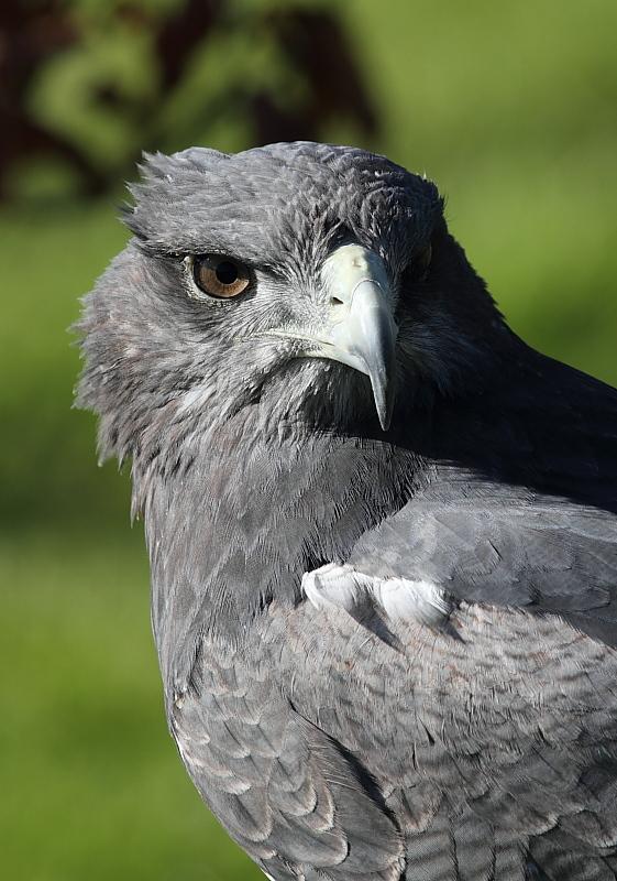 27 especies de águilas!