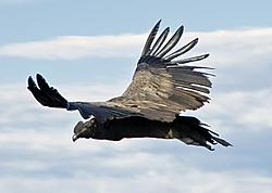 Condor5.jpg