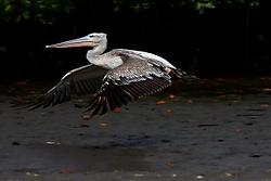 Pelicano17.jpg