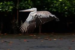 Pelicano18.jpg
