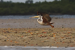 Pelicano211.jpg