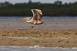 Pelicano22.jpg
