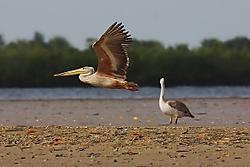 Pelicano24.jpg