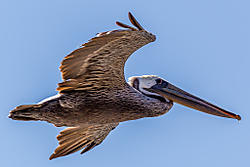 Pelicano_California_Coast.jpg