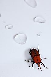 escarabajo_picudo0005.jpg
