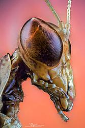 mantis_cabeza_lateral_v4_F.jpg